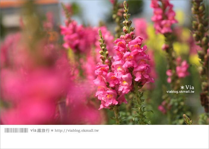 【向陽農場】賞花一日遊~[金魚草彩虹花田]繽紛盛開‧幸福賞花去!15