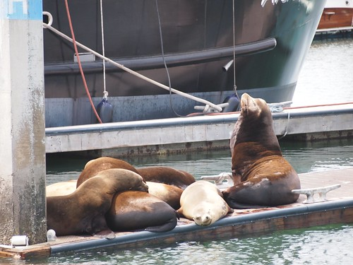 Seal Lions at Ventura Harbor