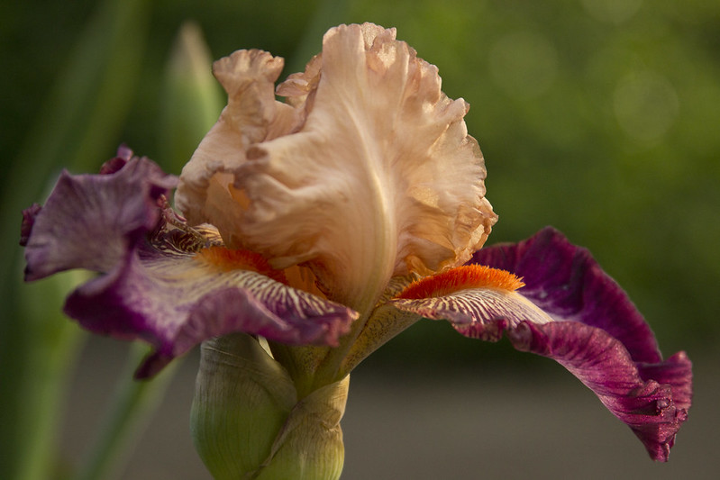Iris Come Away With Me Sunset 2