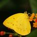 Zitronenfalter by delopafoto