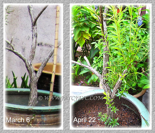 Callistemon citrinus bush, showing new growth after hard prune