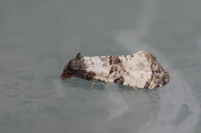 210: Cochylis atricapitana