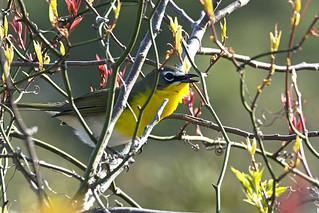 Chincoteague, VA: Yellow-breasted Chat Having a Chat