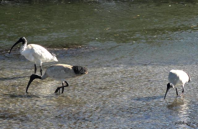 Ibis in Little Lake / Lake Elliott