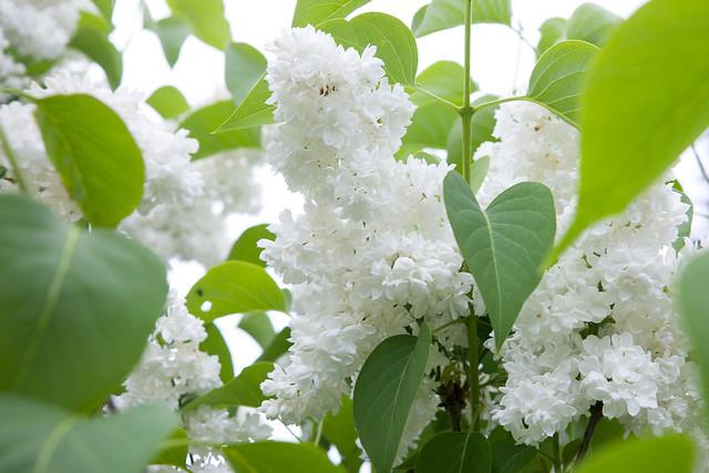 white lilac. Lviv botanic garden. Ukraine