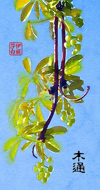 Chocolate Vine Painted in Waterlogue