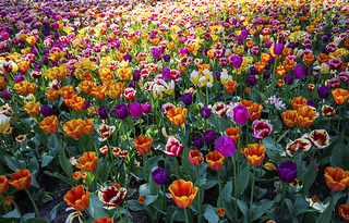 Can't see the weed for the tulips