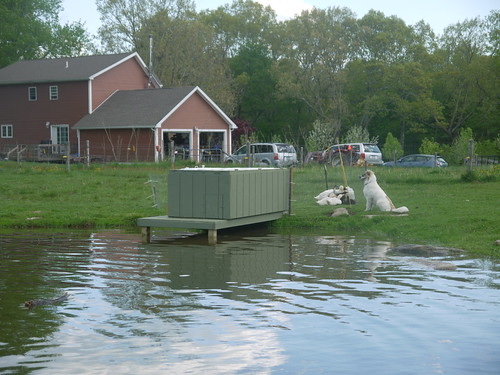 Ducks and new duck house