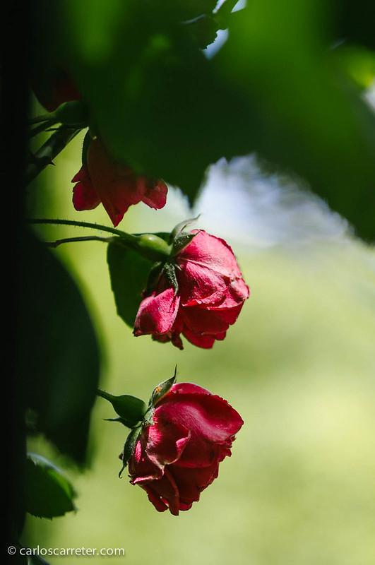 Rosaleda del Parque Grande