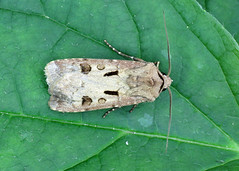 2089 Heart & Dart - Agrotis exclamationis