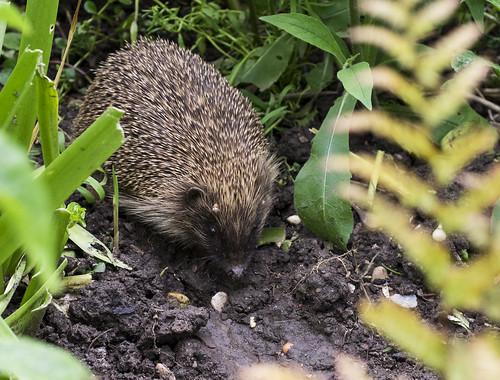 hedgehog 376  (6)