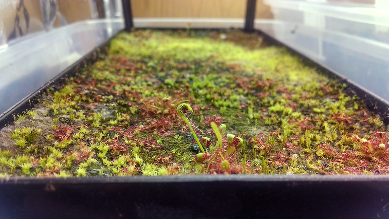 Drosera capensis windowbox planter.