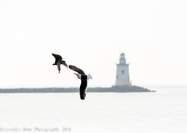 Gull chasing Osprey hazy morning
