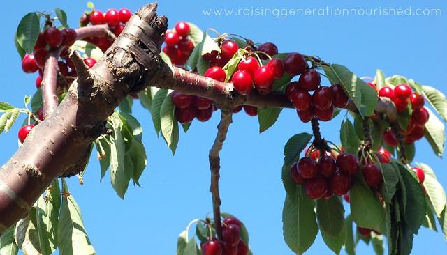 Cherry Vanilla Sorbet :: Dairy Free Option