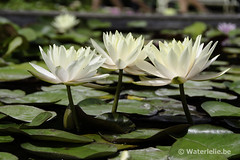 Nymphaea Innerlight 1997