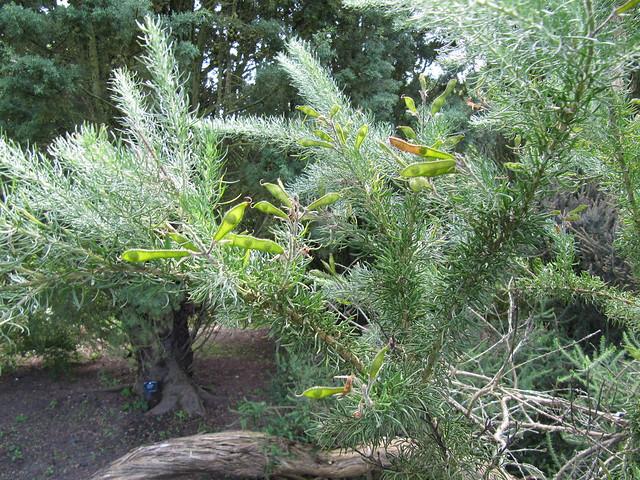 Header of Adenocarpus