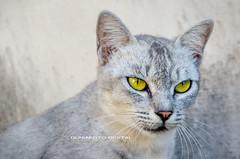 tabby cat(0.0), burmilla(0.0), european shorthair(0.0), pixie-bob(0.0), egyptian mau(0.0), korat(0.0), nebelung(0.0), russian blue(0.0), animal(1.0), small to medium-sized cats(1.0), mammal(1.0), fauna(1.0), chartreux(1.0), close-up(1.0), cat(1.0), wild cat(1.0), whiskers(1.0), domestic short-haired cat(1.0),