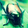 Japanese rose beetle #beetle #insect #leaf #macro