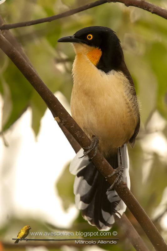 Angú (Black-capped donacobius) Donacobius atricapillus