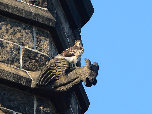 Cathedral Hawk Fledgling - 3181