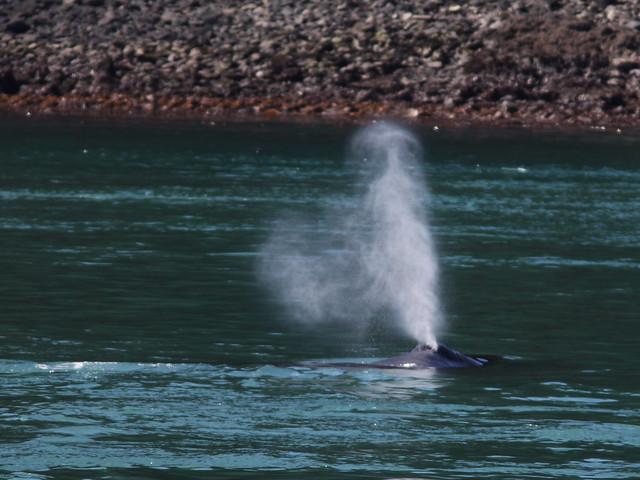 Humpback Whale spouting 20140616