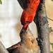 Northern Cardinal 72114 (2) by maerlyn8