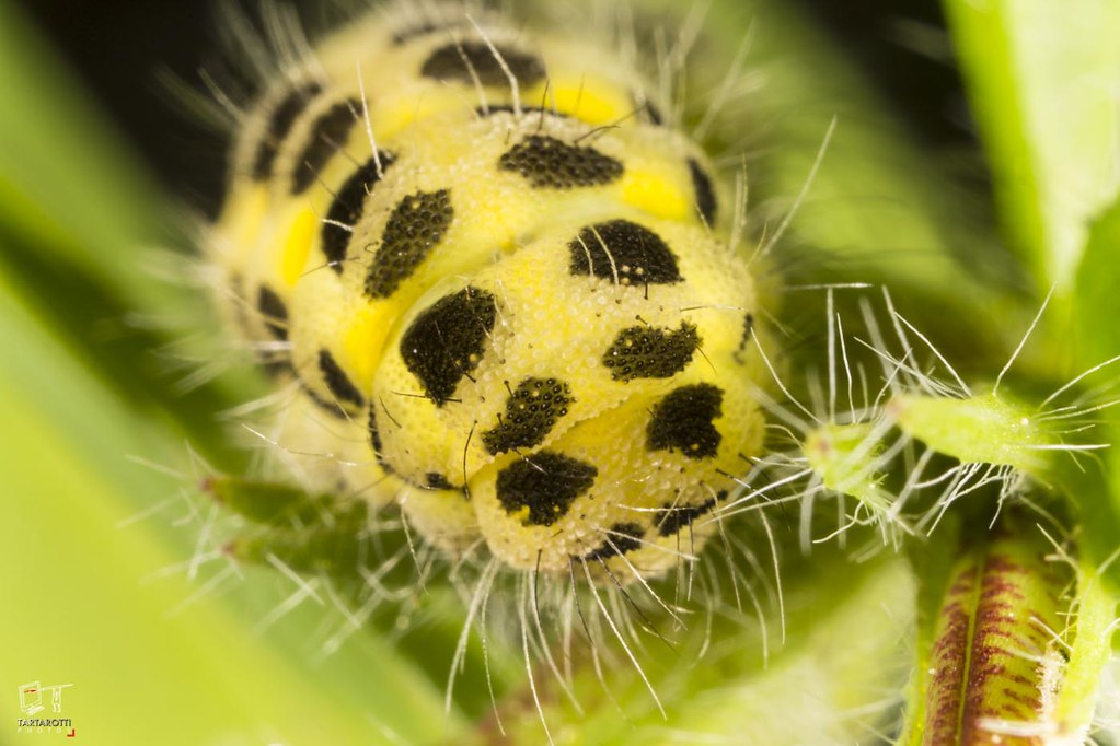 yellow and black larval