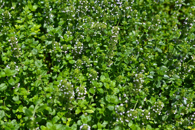 Thymus serpyllum (creeping thyme) in the Herb Garden. Photo by Morrigan McCarthy.