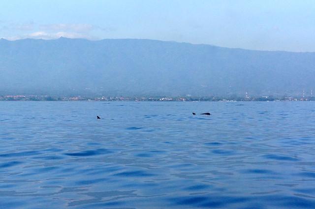 Dolphin Watching Tour at Lovina Beach