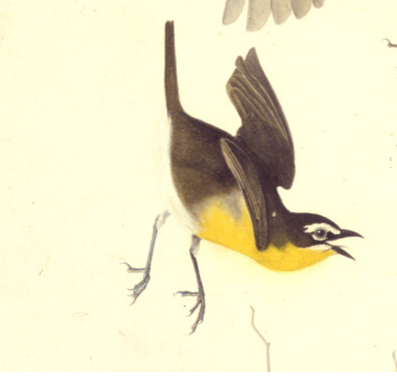 Audubon, yellow-breasted chat, detail