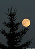"Full ""Supermoon"" in the arms of a pine tree, July 11, 2014"