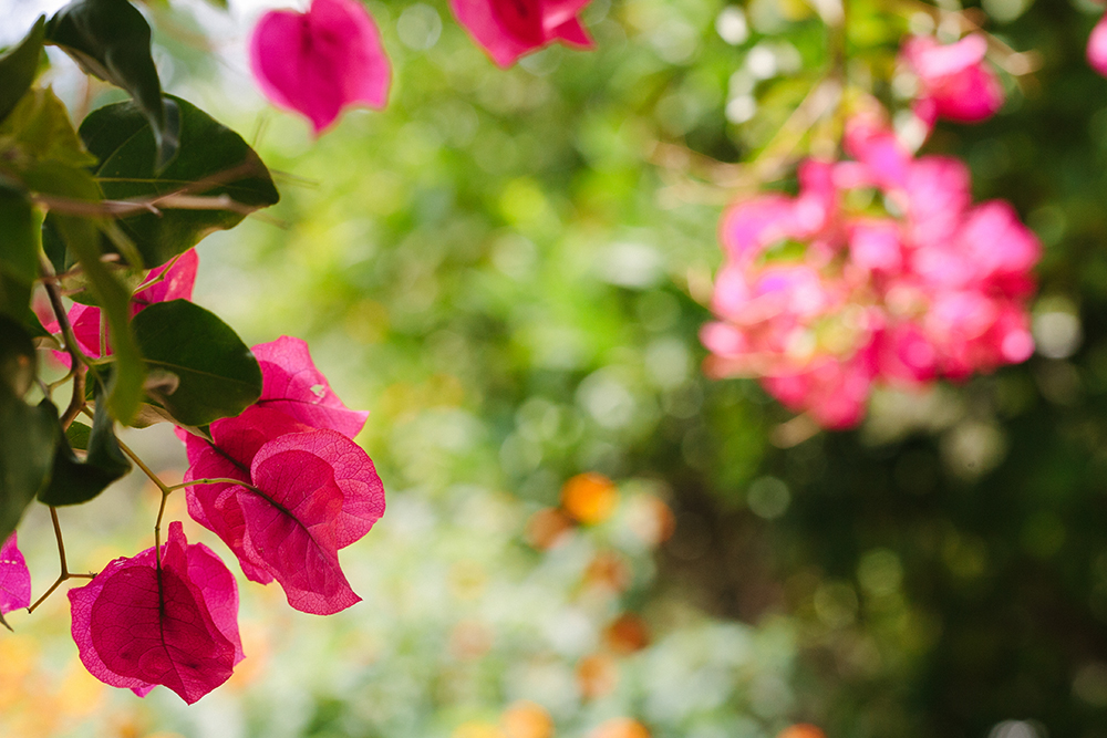 bougainvillea_1_web