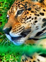 onça pintada - jaguar