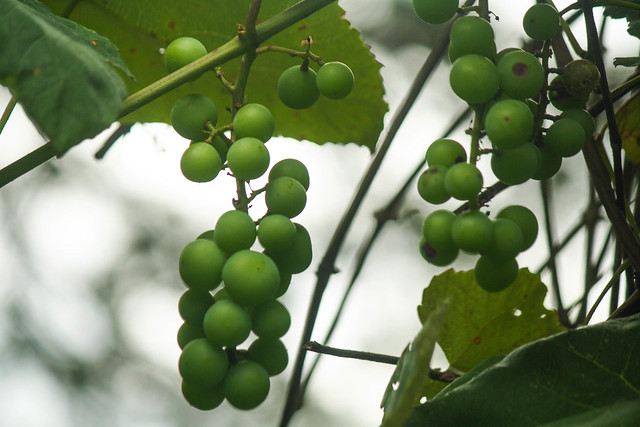 backyard grapes