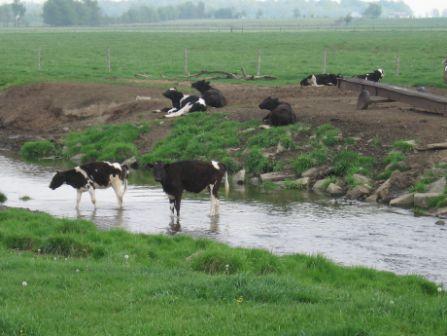 livestock in rivers
