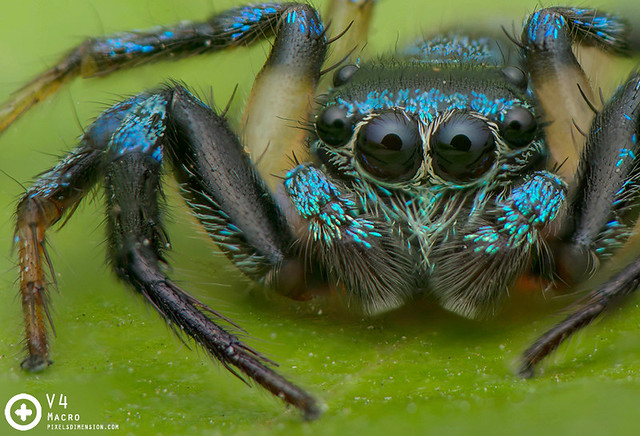 Thiania bhamoensis ♂ upclose - Fighting Spider