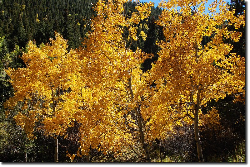 Yellow aspens along Mount Evans Scenic Byway 9
