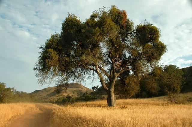 Oak Tree in Limestone Canyon