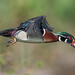Mr. Wood Duck by PeterBrannon
