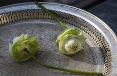 4Y1A0976 Lotus flower