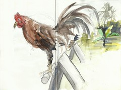 Breeding and care of the fighting cock