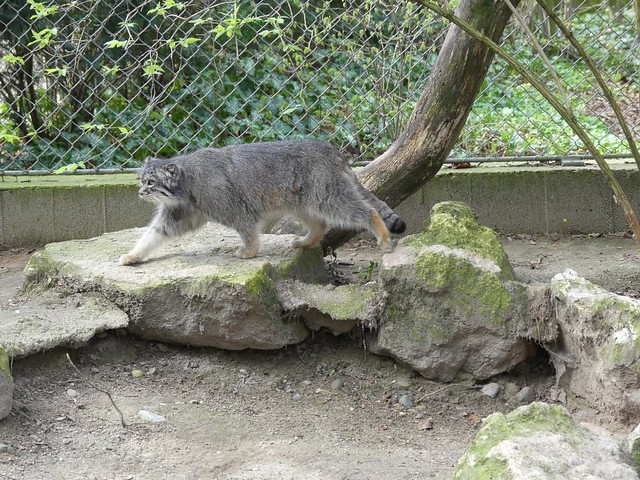 Manul, Zoo Mulhouse