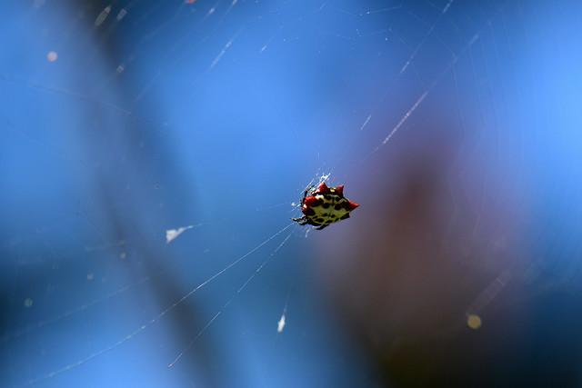 Crablike Spiny Orbweaver and web