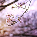 Cherry blossoms at sunset by Arianna Mameli