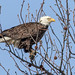 Bald Eagle by Inland Bay Photography