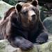 Small photo of Kodiak Bear