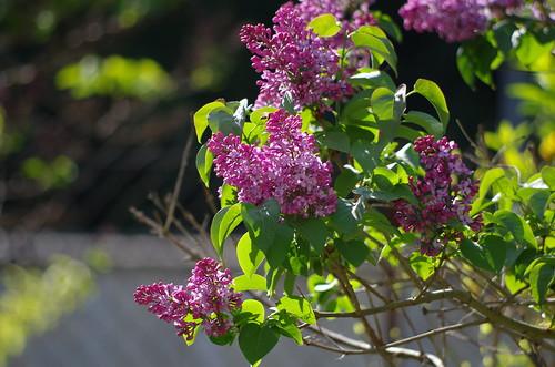 mon petit jardin lilas rose
