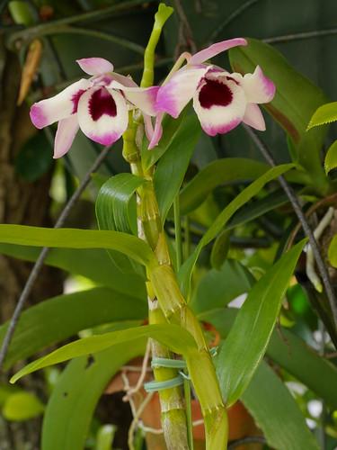 Dendrobium nobile var. cooksonianum 2