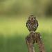 Little Owl by naturenev