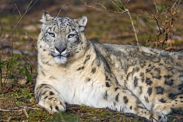 Lying snow leopard